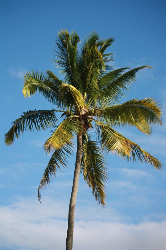 palmier antilles